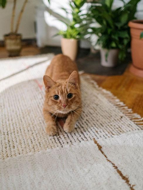 Gatto rosso su tappeto beige