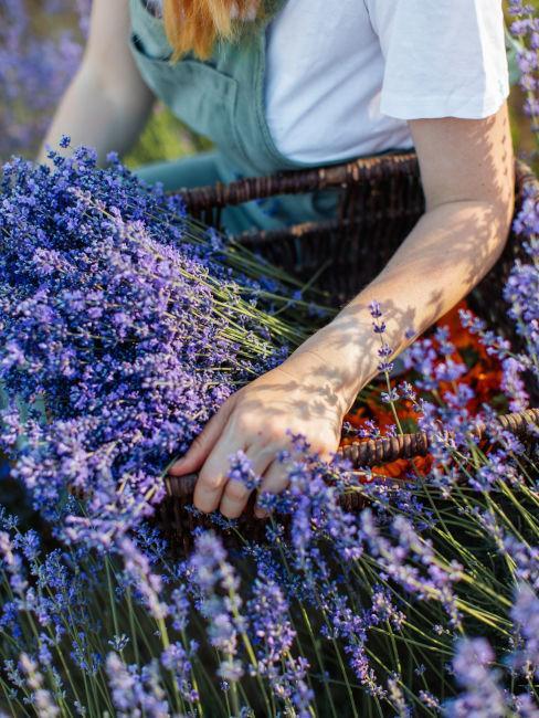 Aiuole con lavanda per giardino rustico