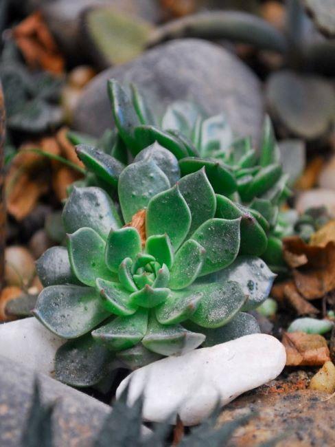 giardino roccioso succulente