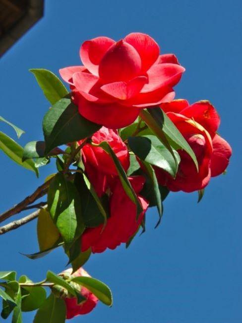piante sempreverdi da vaso camelia