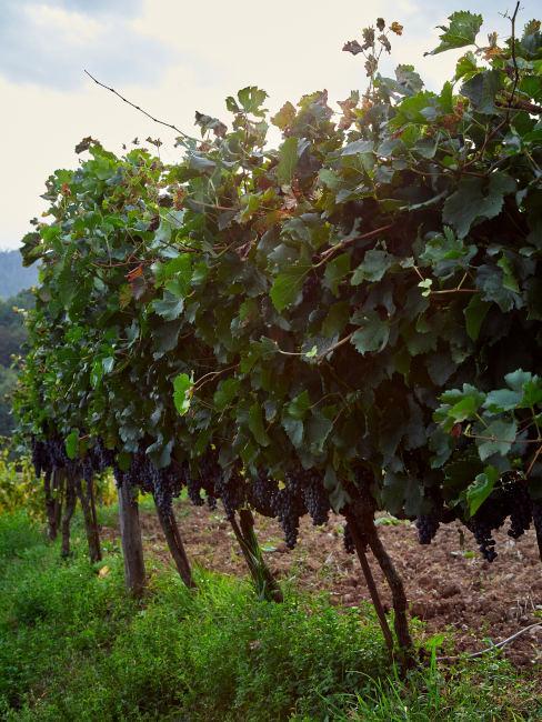 Vigne Agriturismo La Costa