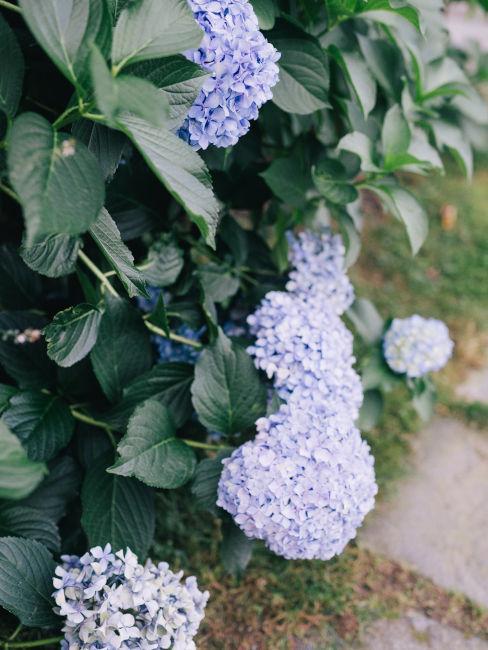 giardino con ortensie