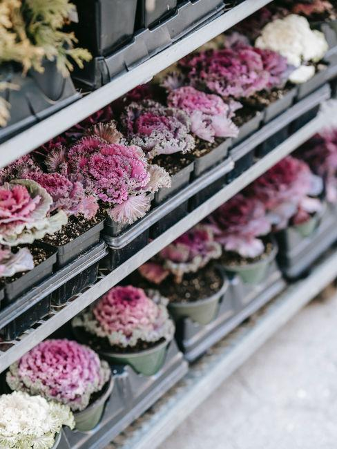 cavoli autunali fiori per balcone