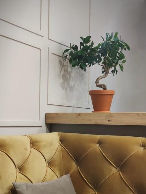 Bonsai Ficus da interno