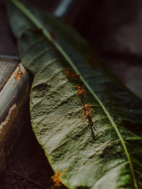 Consigli per togliere le formiche dalle piante