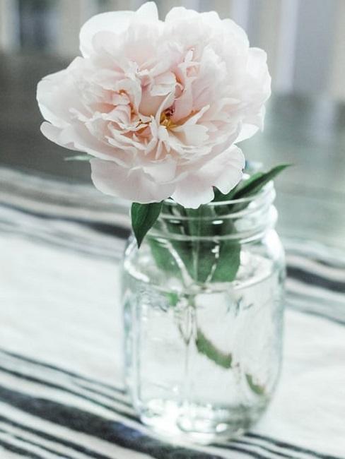 Peonia bianca in vaso