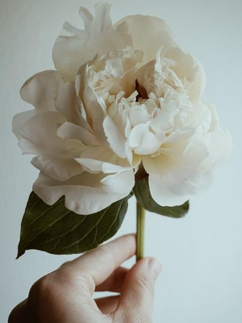 Peonia bianca da mettere in vaso