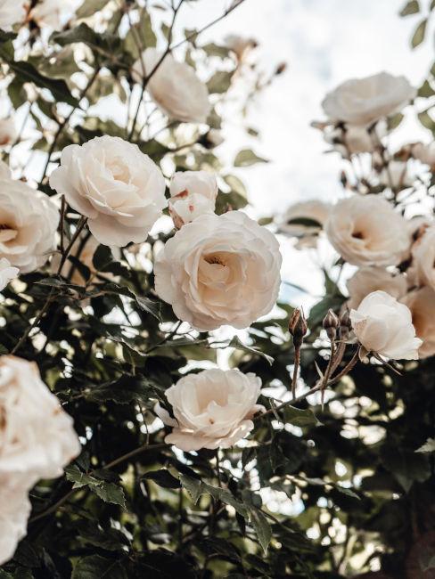 Curare le rose in giardino