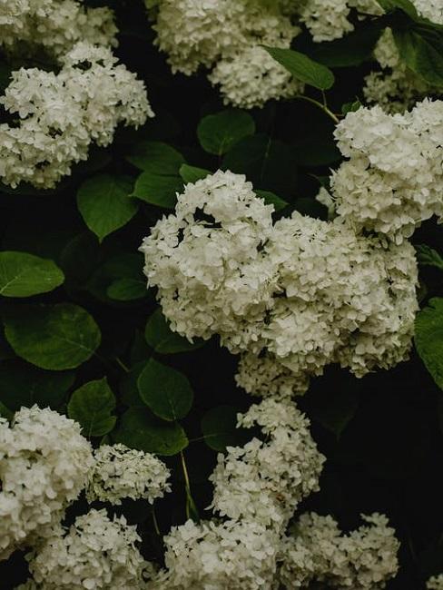 Ortensia Arborescens