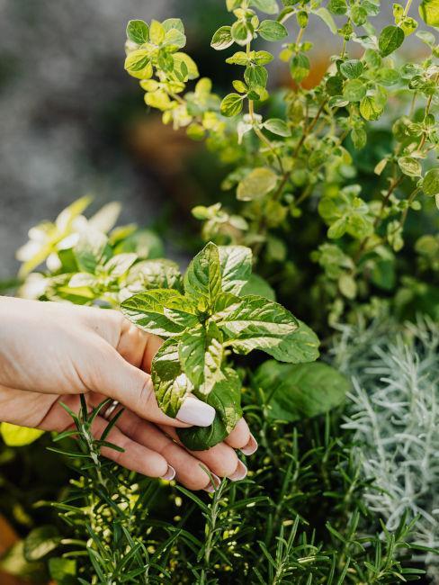 Erbe aromatiche per il terrazzo