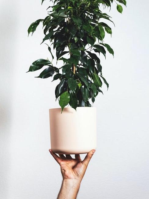 Ficus piangente