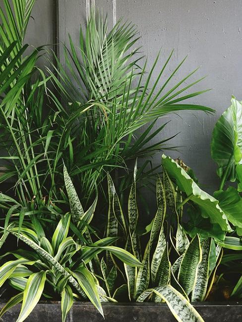 piante palma