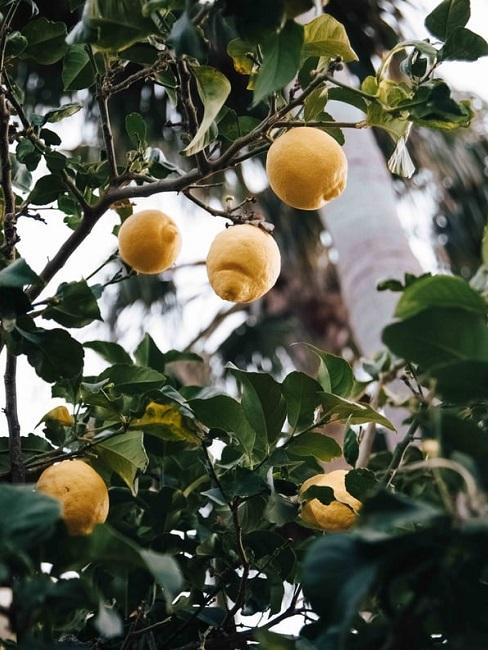 Giardino alla francese: agrumi