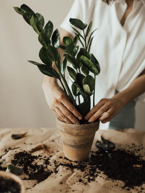 Travasare le piante per arredare il giardino