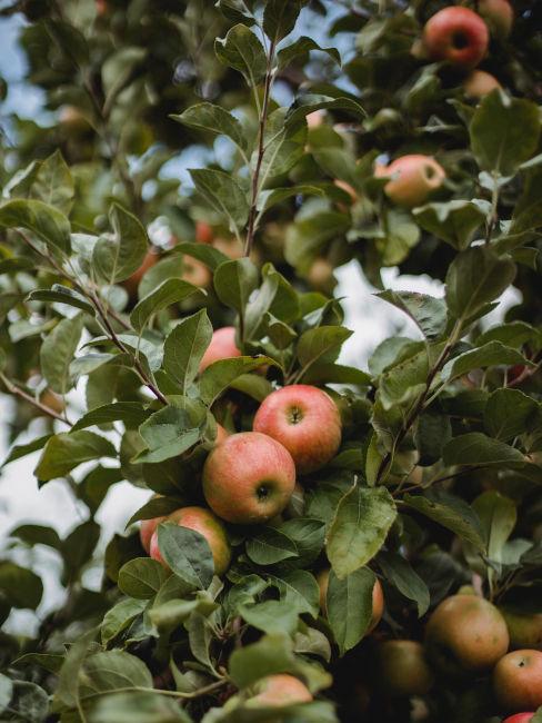 albero da frutta per giardino