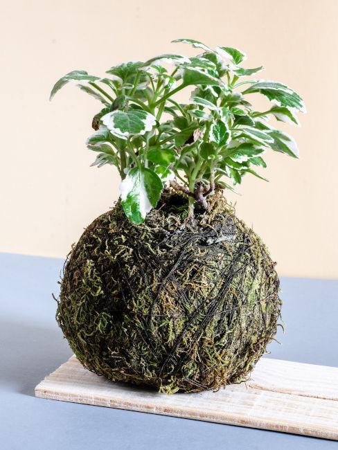 metodo giapponese piante pensili con muschio