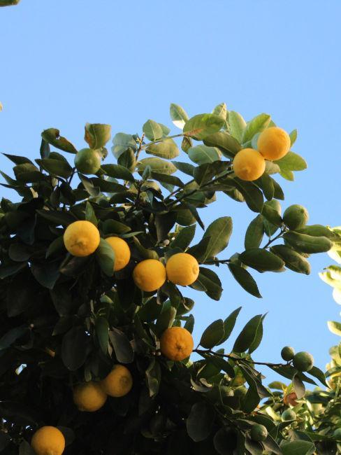 pianta d'arancia