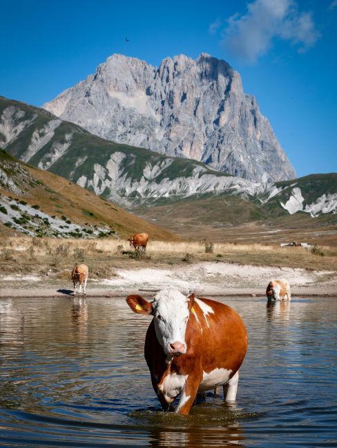 mucca in un lago di montagna