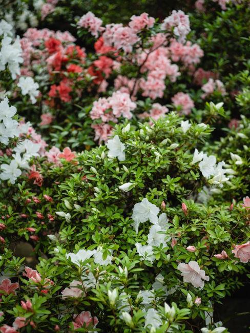 azalee rosa e bianche