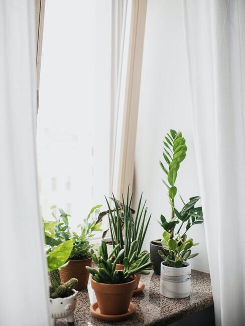 Vetplanten op vensterbank met witte gordijnen