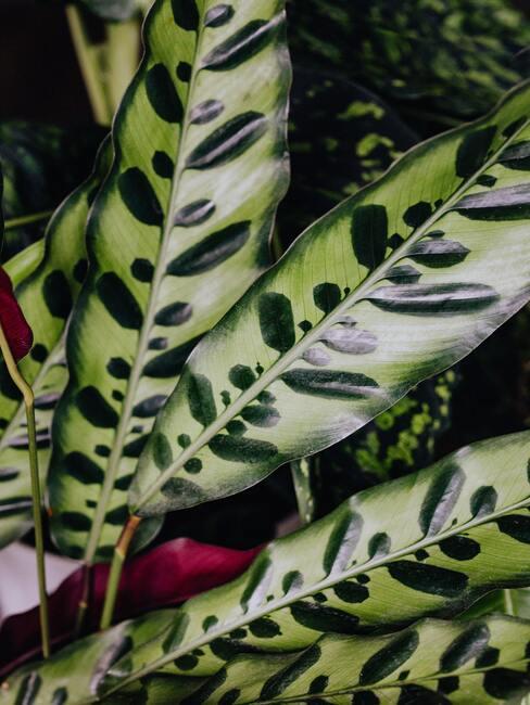 Calathea plant voor een beter binnenklimaat