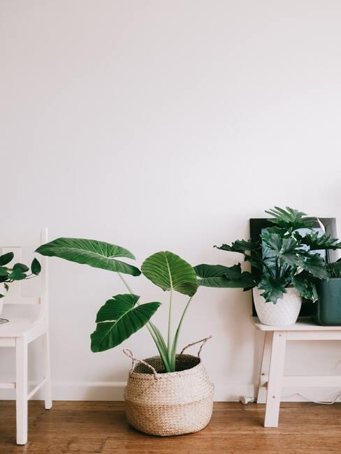 Close-up groene plant in mand, witte stoel en houten bijzettafel tegen witte muur