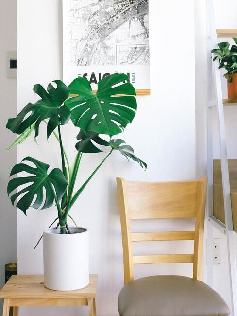 Minimalisme groene plant monstera in witte plantenpot en houten stoel op witte muur