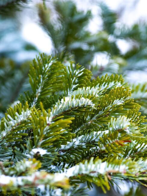 groene boom met sneeuw