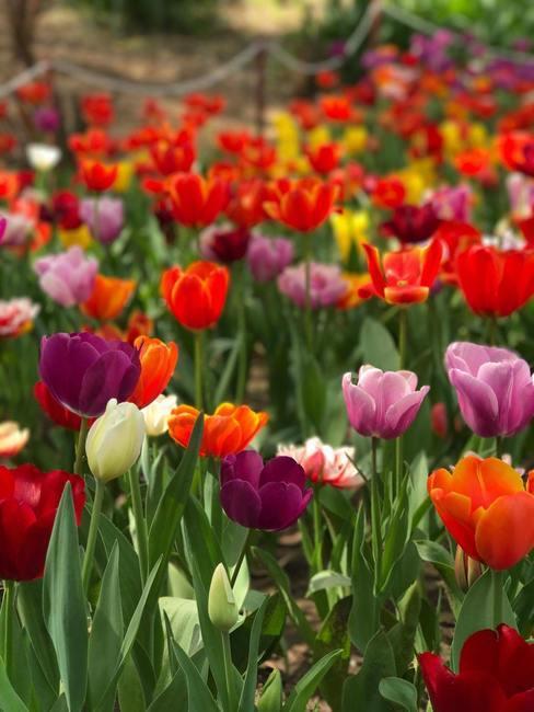 Gekweekte tulpen in verschillende kleuren