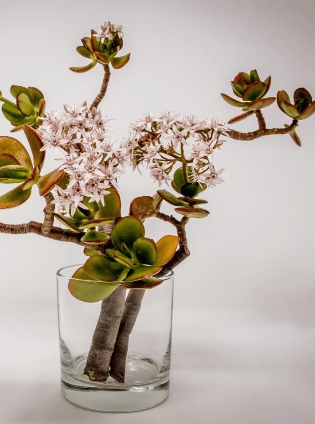 Vetplant in glas met rozen bloem in Japanse stijl Ikebana