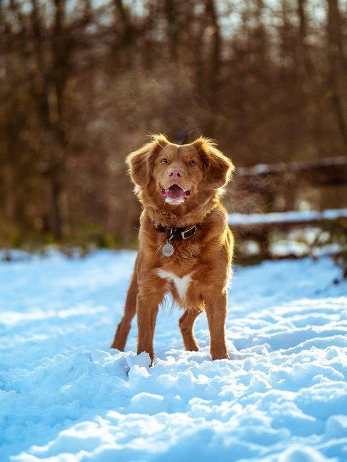 Bruine jachthond in de sneeuw