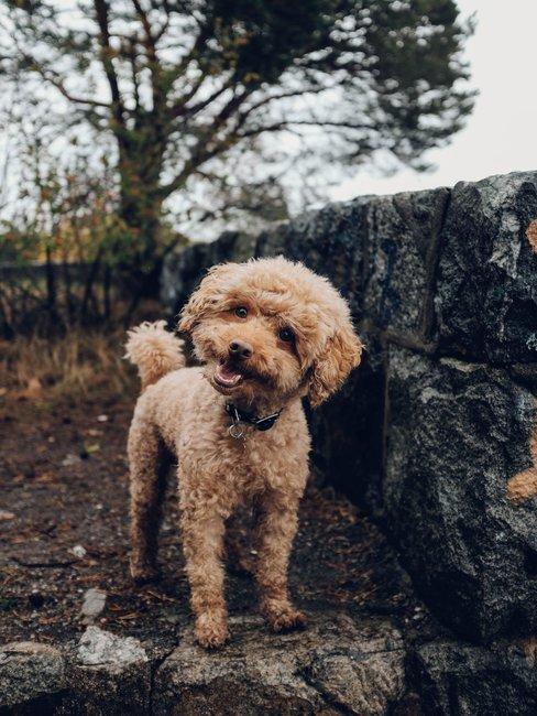 Bruine knuffelbare hond in herfst achtige omgeving