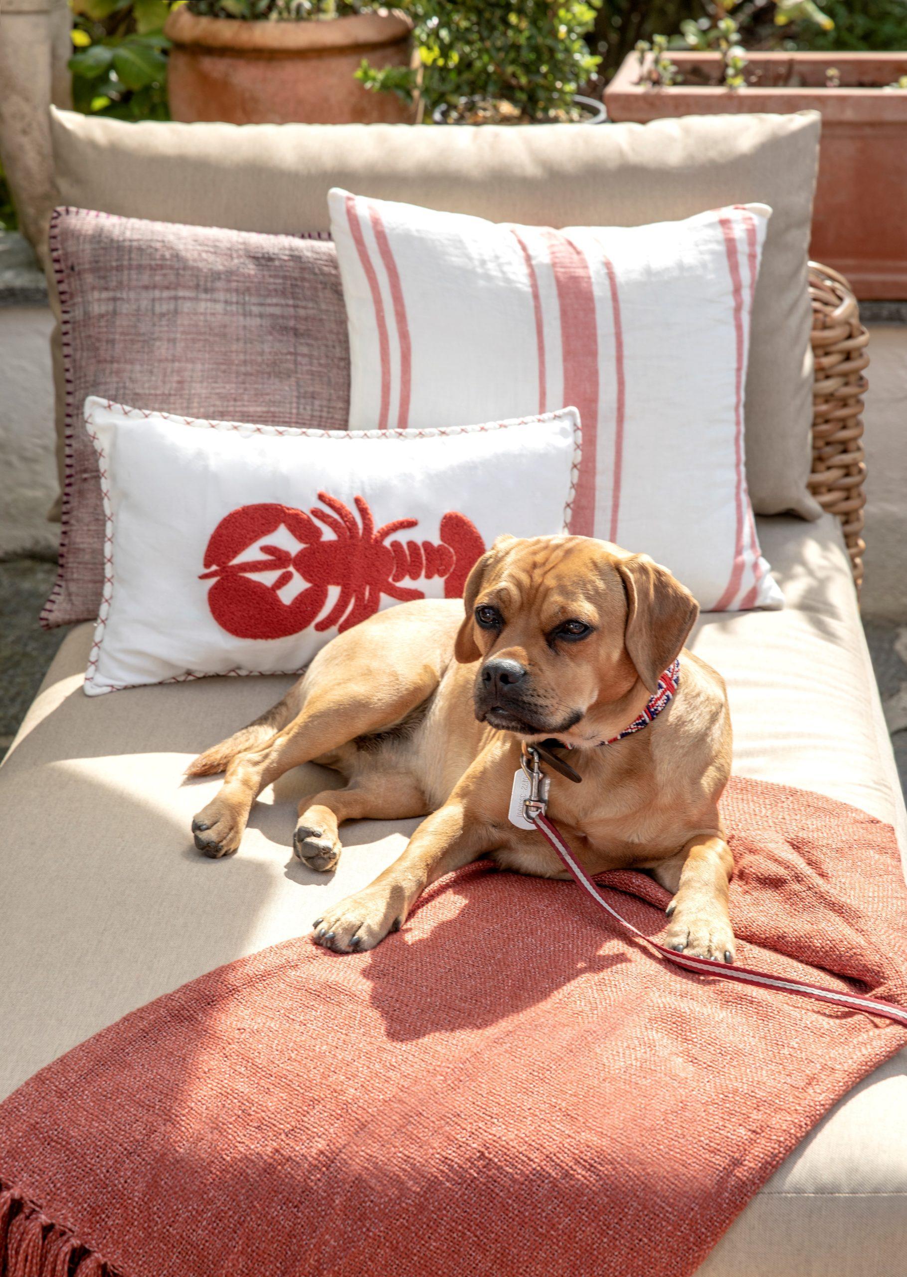 Bruine hond op loungebed met roze kleed aan riem