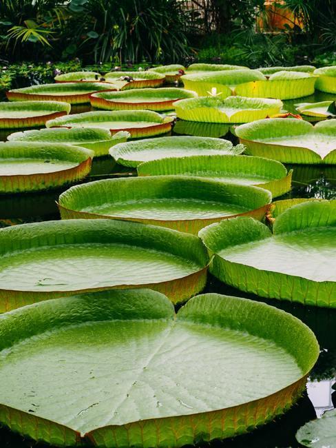 Waterlelies op een meer
