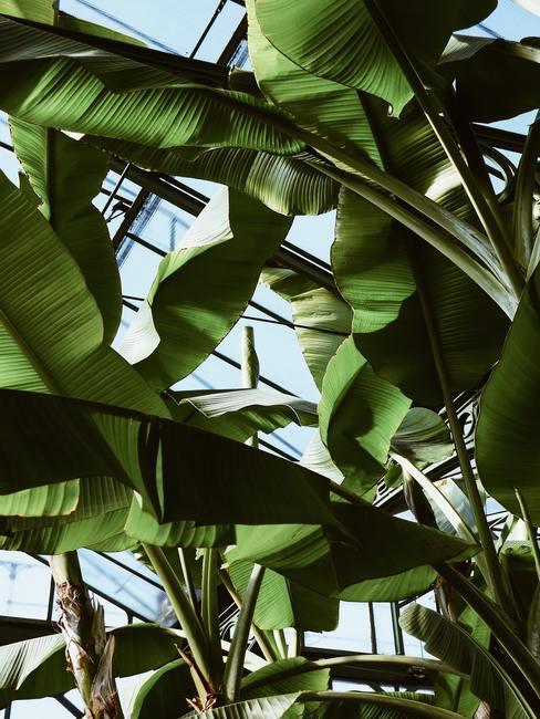 Bananenbladeren van dichtbij gefotografeerd met blauwe lucht op de achtergrond