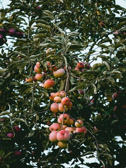 Appelboom met appels