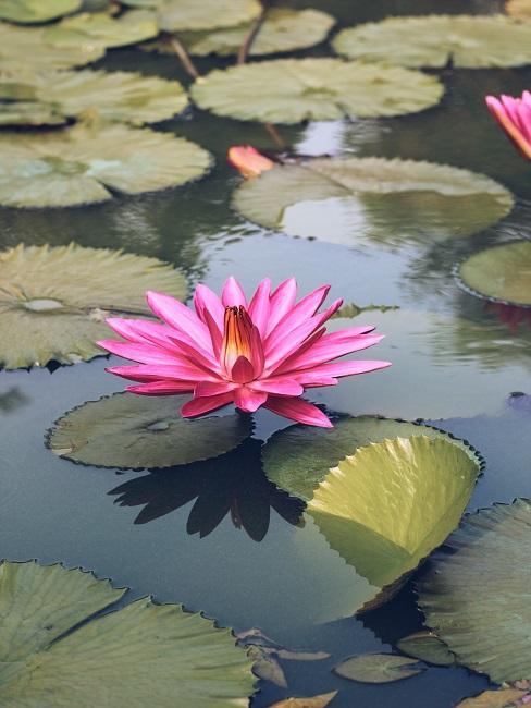 Roze waterlelie met bladeren in water