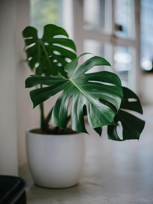 Feng shui plant monstera in een witte plantenpot