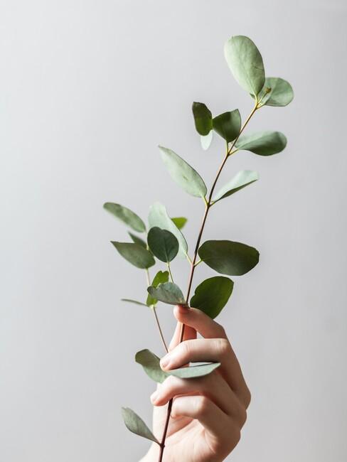 ucalyptus-deco tak in een hand tegen een witte muur