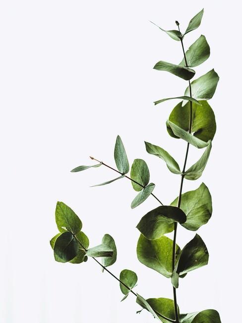 ucalyptus-deco tak op een witte muur