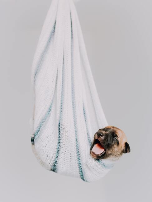 franse bulldog in een deken