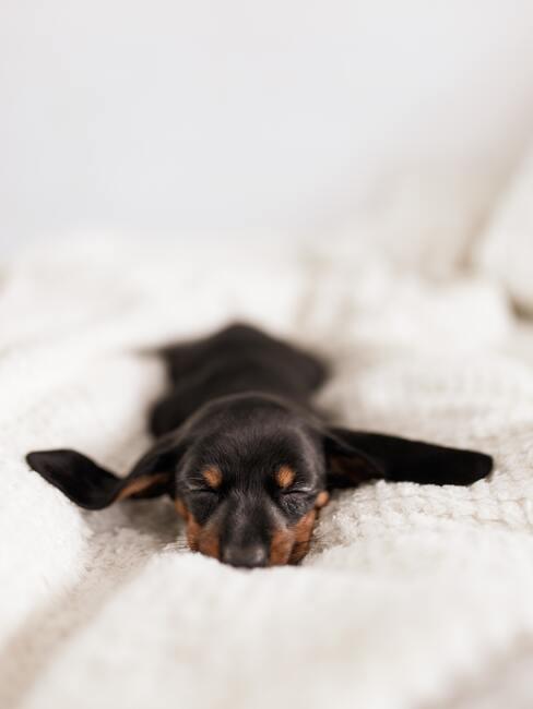 teckel op het bed