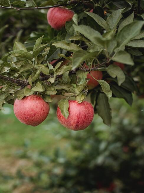 Appelboom snoeien: appels aan de boom