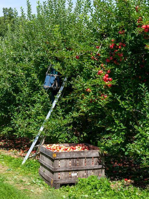 Appelboom snoeien: Boomgaard voor het kweken van fruit