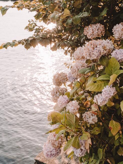 Een roze hortensia bij de vijver