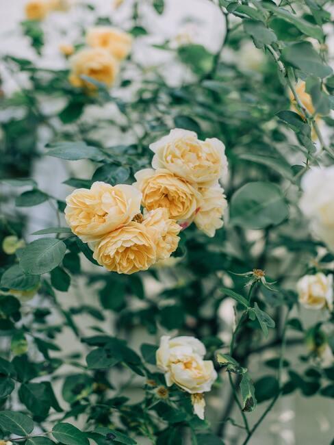 rozen snoeien