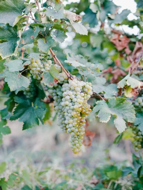 Druiven snoeien in je tuin