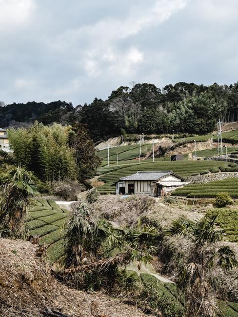 Japanse theeplantage