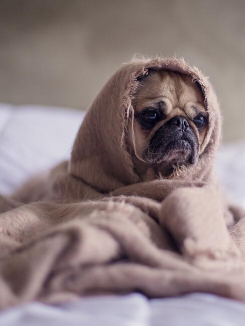 Hondje in bed met een dekentje kijkt zielig
