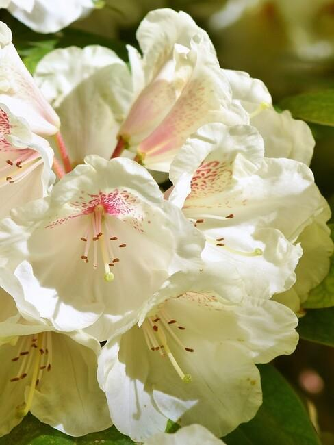 close up rhododendron 2